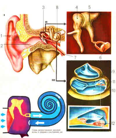 Схематическое изображение человеческого слухового апарата