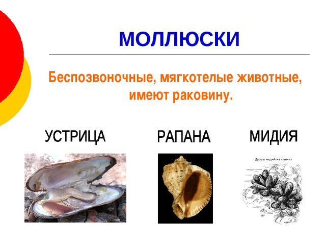 МОЛЛЮСКИ Беспозвоночные, мягкотелые животные, имеют раковину.