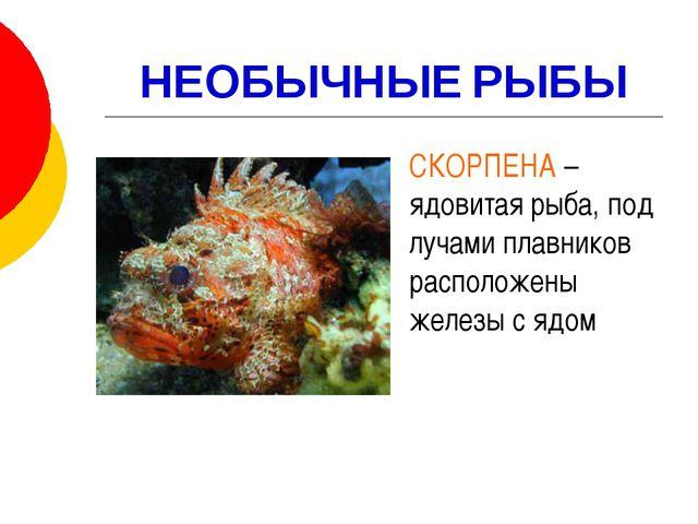НЕОБЫЧНЫЕ РЫБЫ СКОРПЕНА – ядовитая рыба, под лучами плавников расположены же...