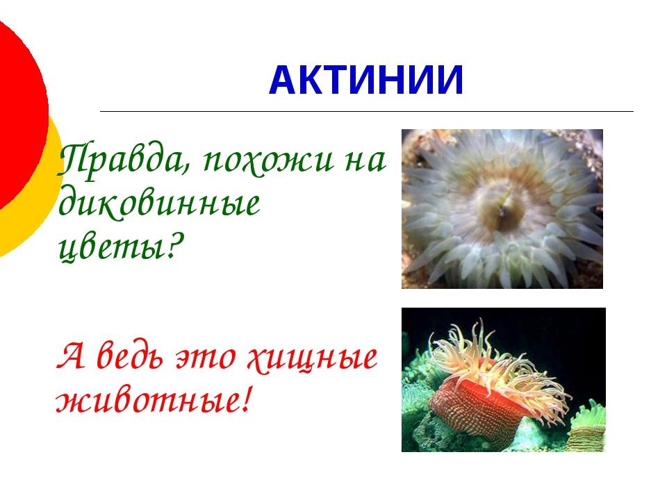 АКТИНИИ Правда, похожи на диковинные цветы? А ведь это хищные животные!