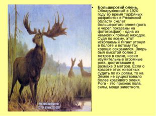 Большерогий олень. Обнаруженный в 1920 году во время торфяных разработок в Ря