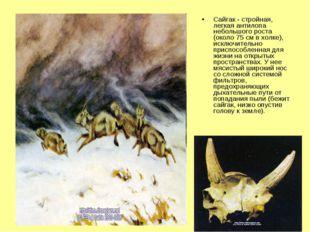 Сайгак - стройная, легкая антилопа небольшого роста (около 75 см в холке), ис