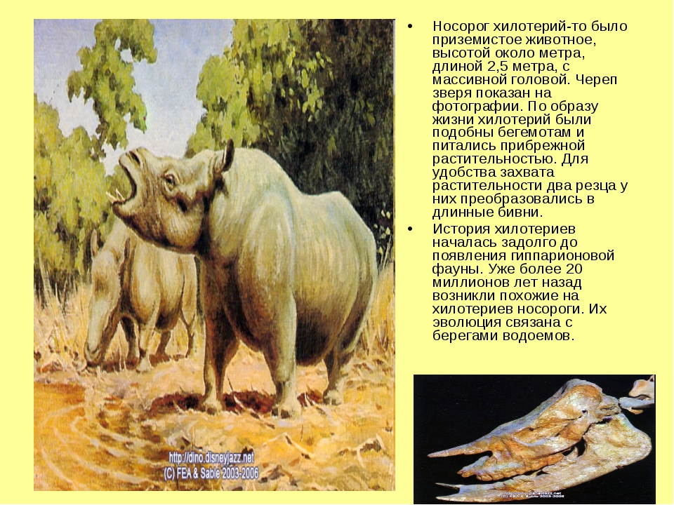 Носорог хилотерий-то было приземистое животное, высотой около метра, длиной 2...