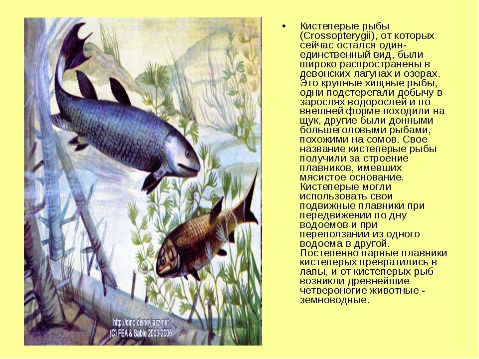 Кистеперые рыбы (Crossopterygii), от которых сейчас остался один-единственный...