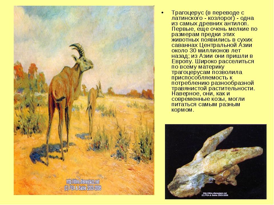 Трагоцерус (в переводе с латинского - козлорог) - одна из самых древних антил...