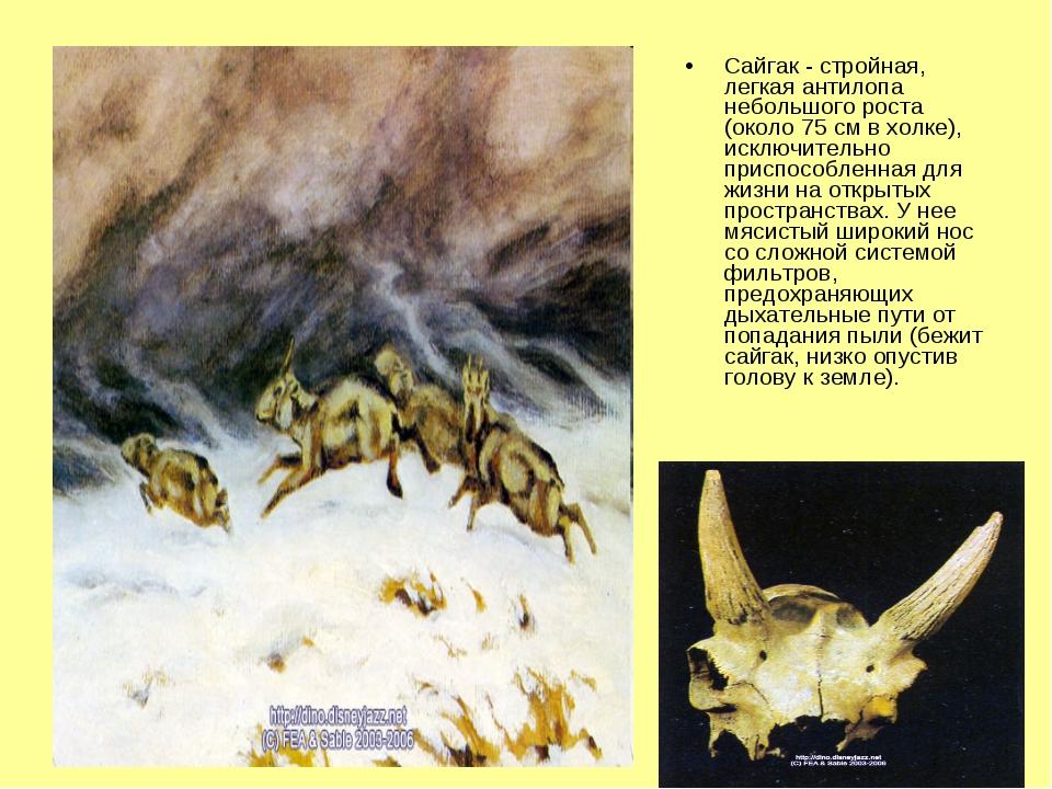 Сайгак - стройная, легкая антилопа небольшого роста (около 75 см в холке), ис...