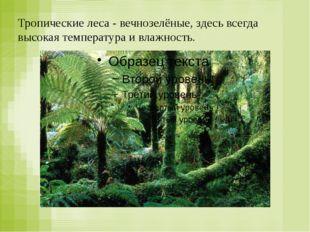 Тропические леса - вечнозелёные, здесь всегда высокая температура и влажность.