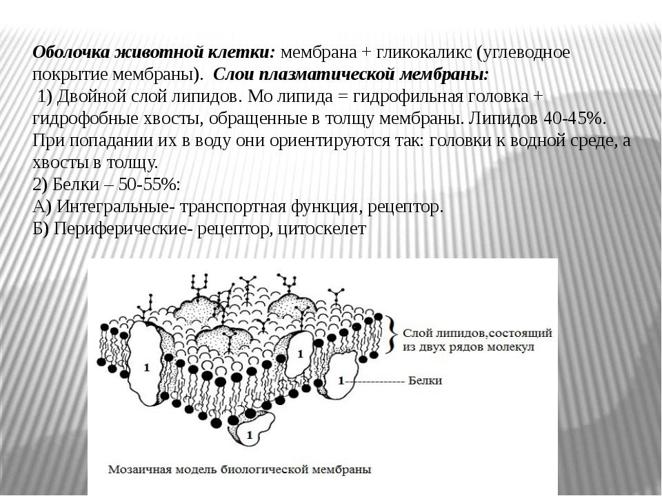 Оболочка животной клетки: мембрана + гликокаликс (углеводное покрытие мембран...