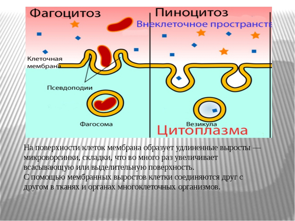 На поверхности клеток мембрана образует удлиненные выросты — микроворсинки,...