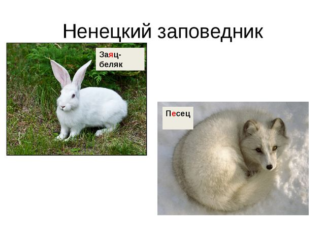 Ненецкий заповедник Заяц-беляк Песец