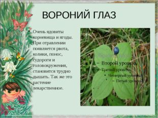 ВОРОНИЙ ГЛАЗ Очень ядовиты корневища и ягоды. При отравлении появляется рвота