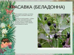 КРАСАВКА (БЕЛАДОННА) Очень ядовитое растение, достаточно двух ягодок, и насту