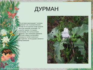 """ДУРМАН Это растение еще называют """"колючим огурчиком"""" или """"колючим яблоком"""", п"""