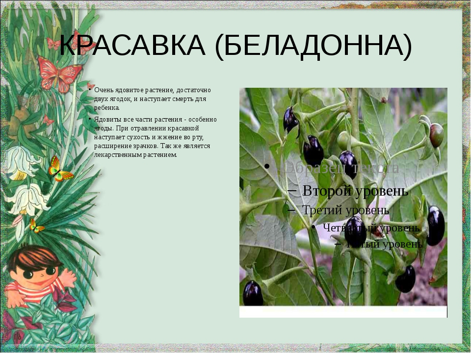 КРАСАВКА (БЕЛАДОННА) Очень ядовитое растение, достаточно двух ягодок, и насту...