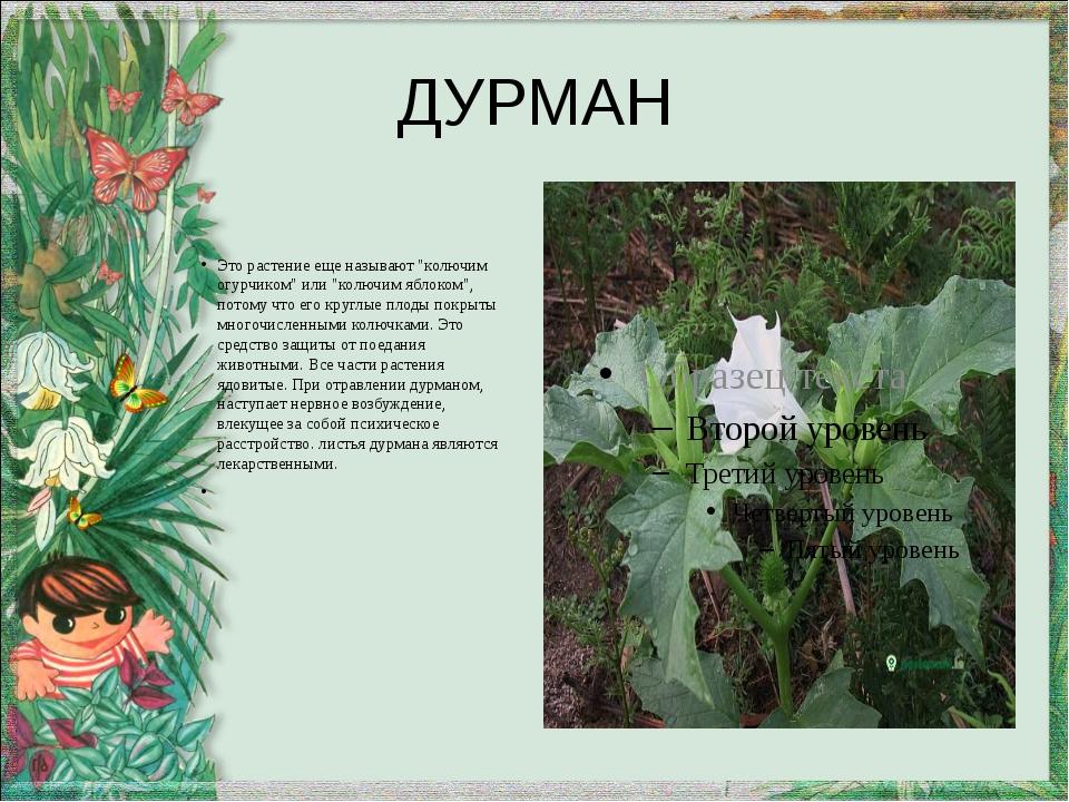 """ДУРМАН Это растение еще называют """"колючим огурчиком"""" или """"колючим яблоком"""", п..."""