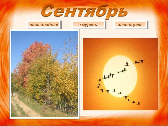 листопадник хмурень златоцвет