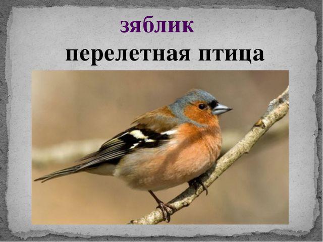 зяблик перелетная птица