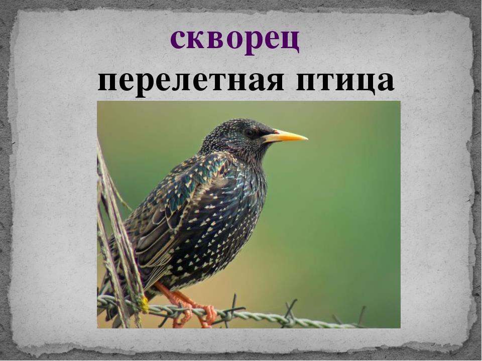поэтому скворцы перелетные птицы или нет это когда