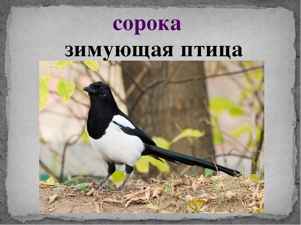 сорока зимующая птица