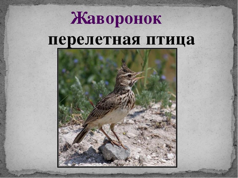 Жаворонок перелетная птица