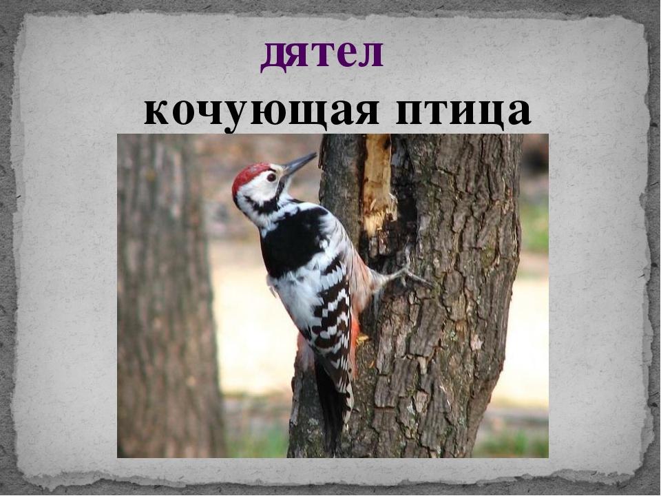 дятел кочующая птица