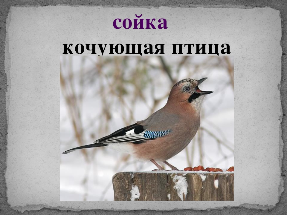 сойка кочующая птица