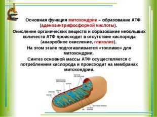 Основная функция митохондрии – образование АТФ (аденозинтрифосфорной кислоты