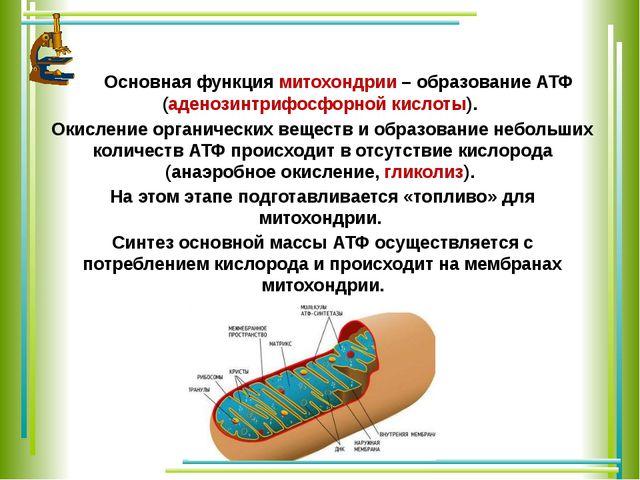 Основная функция митохондрии – образование АТФ (аденозинтрифосфорной кислоты...
