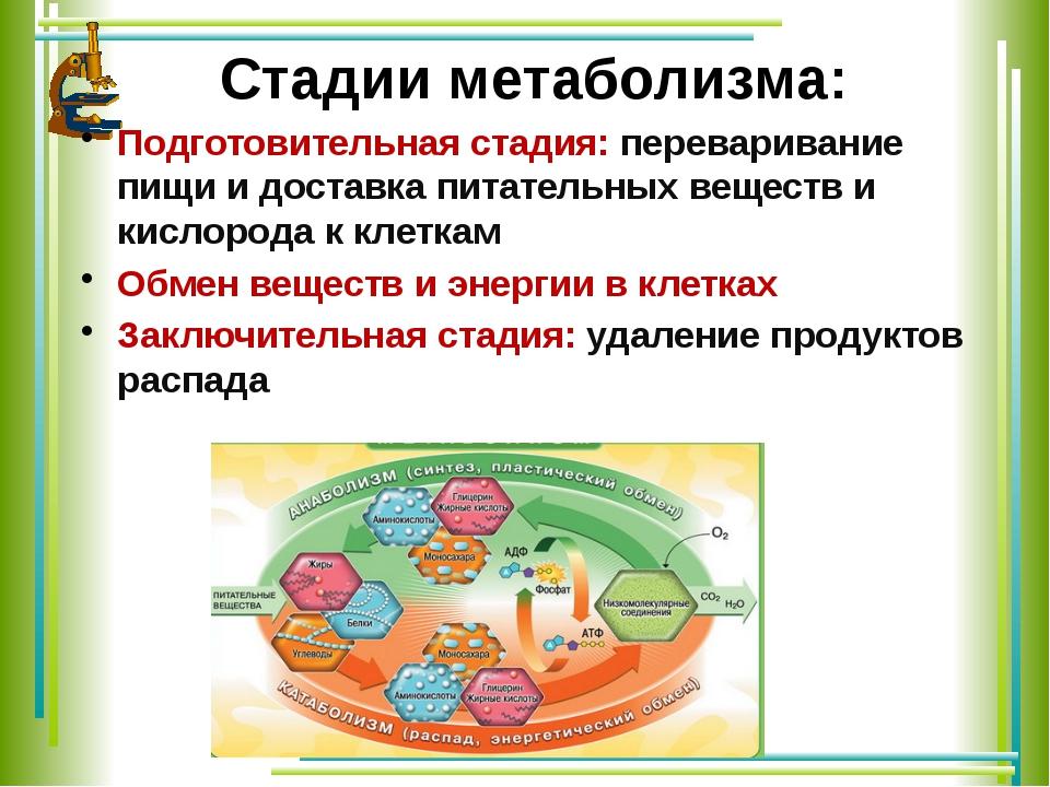 Стадии метаболизма: Подготовительная стадия: переваривание пищи и доставка пи...
