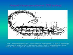 Отряд Скорпионы(около 1750 видов) 1 - мозг, 2-подглоточная нервная масса, 3
