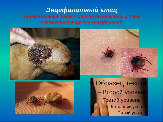Энцефалитный клещ Энцефалитный клещ – это не особый вид, а клещ зараженный ви...
