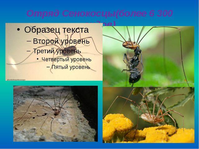 Отряд Сенокосцы(более 6 300 видов)