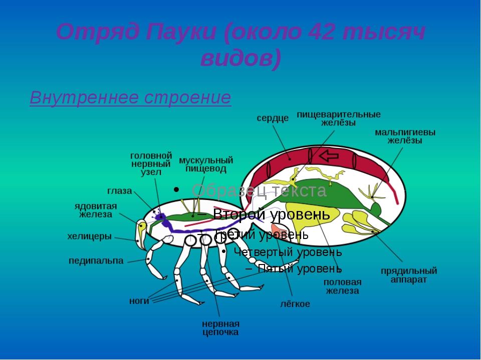 Отряд Пауки (около 42 тысяч видов) Внутреннее строение