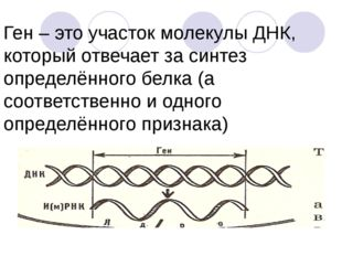 Ген – это участок молекулы ДНК, который отвечает за синтез определённого бел