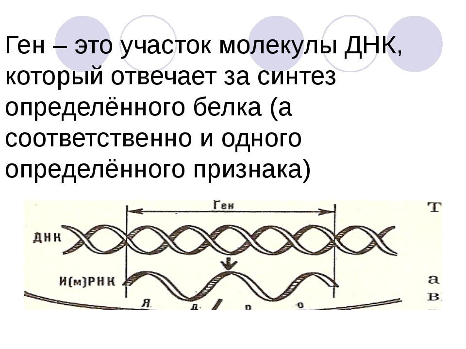 Ген – это участок молекулы ДНК, который отвечает за синтез определённого бел...