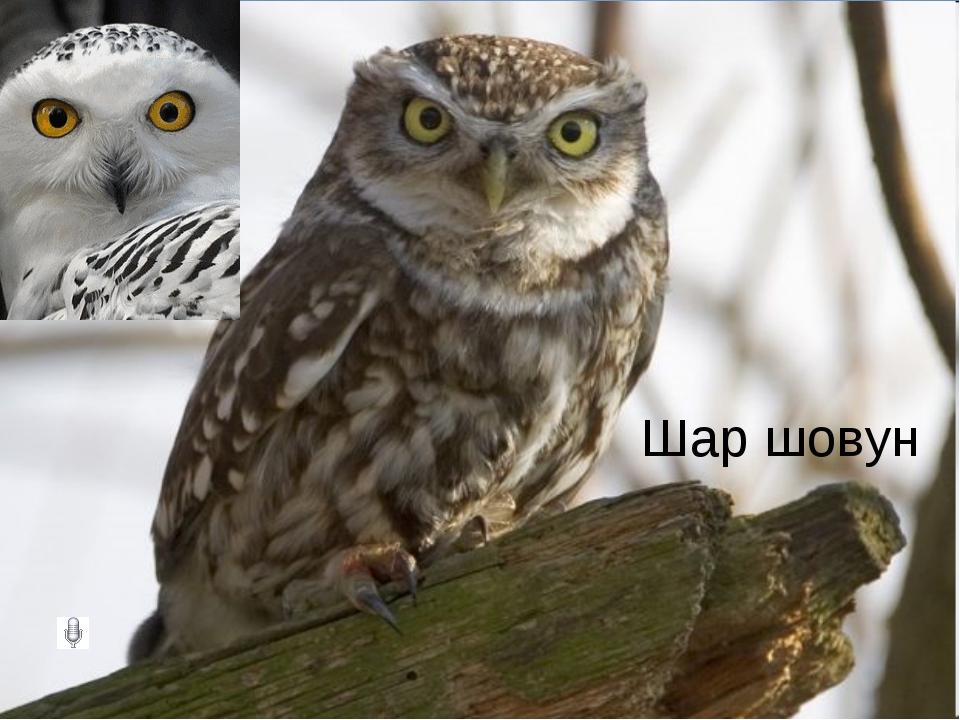 Шар шовун
