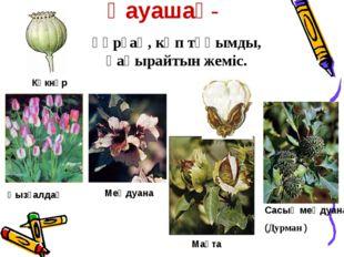 Қауашақ- құрғақ, көп тұқымды, қақырайтын жеміс. Қызғалдақ Сасық меңдуана (Дур
