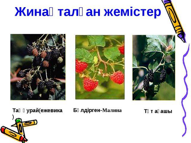 Жинақталған жемістер Бүлдірген-Малина Таңқурай(ежевика) Тұт ағашы