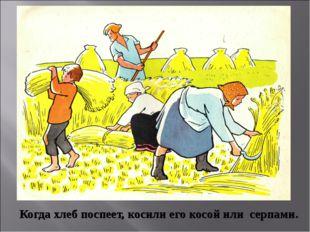 Когда хлеб поспеет, косили его косой или серпами.
