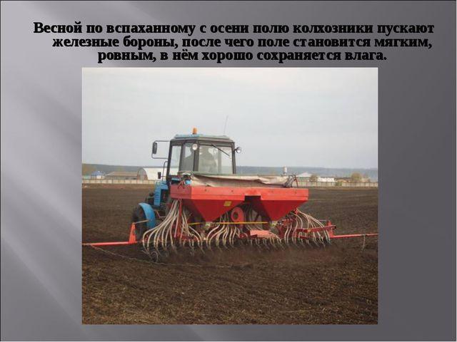 Весной по вспаханному с осени полю колхозники пускают железные бороны, после...