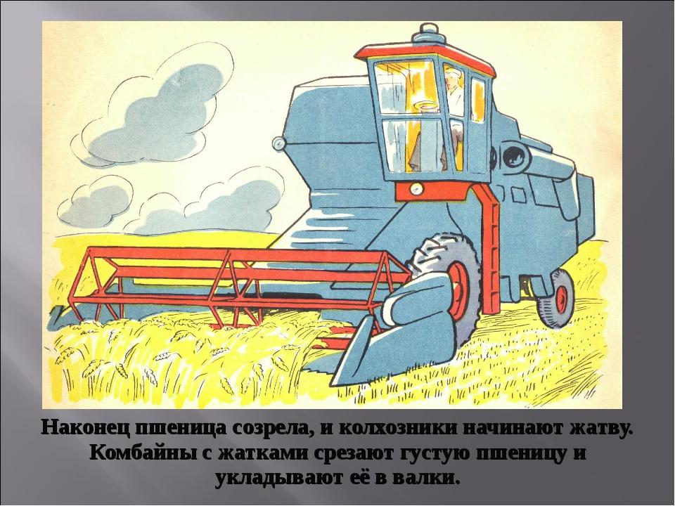 Наконец пшеница созрела, и колхозники начинают жатву. Комбайны с жатками срез...