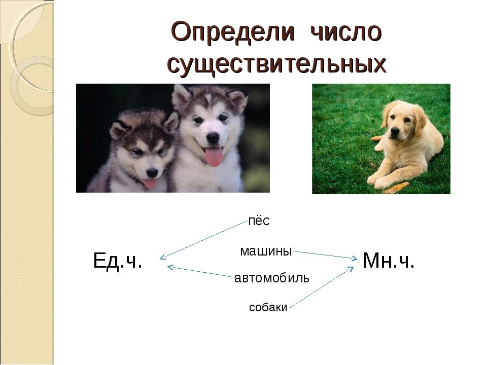 Определи число существительных Ед.ч. Мн.ч. пёс машины автомобиль собаки