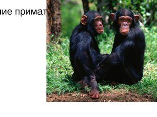 Высшие приматы