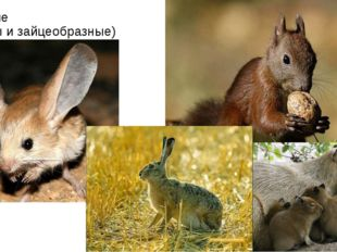 Грызущие (грызуны и зайцеобразные)
