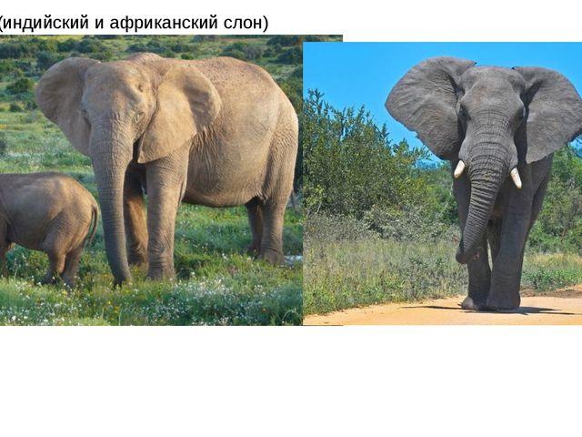 Хоботные (индийский и африканский слон)