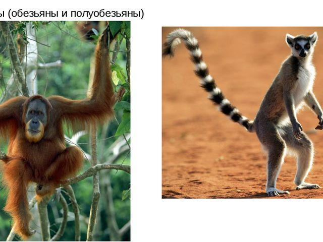 Древолазы (обезьяны и полуобезьяны)