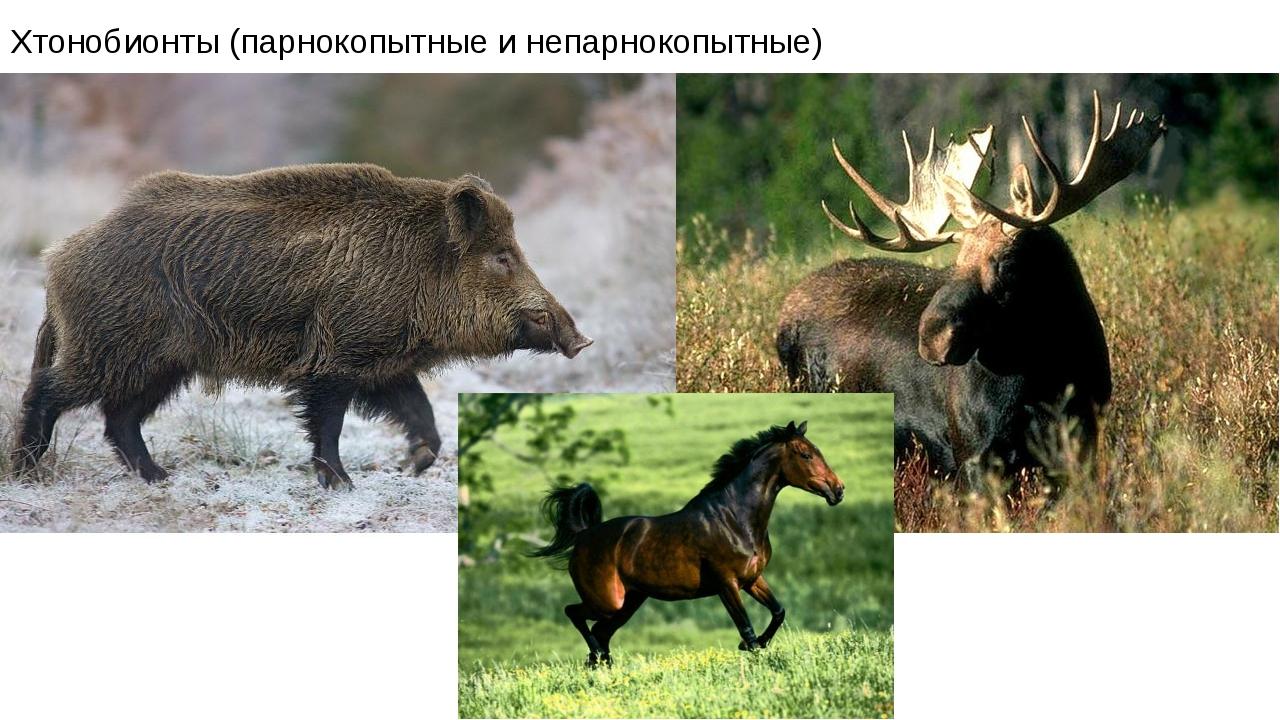 Хтонобионты (парнокопытные и непарнокопытные)
