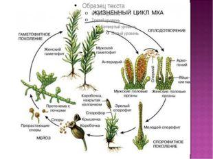 Цикл развития мхов