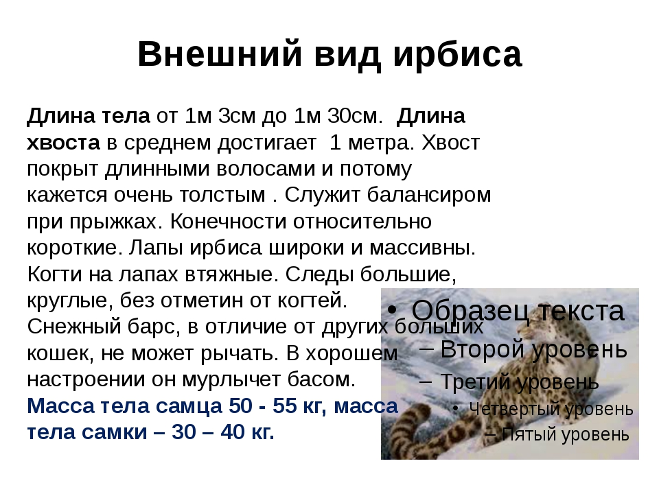 Внешний вид ирбиса Длина тела от 1м 3см до 1м 30см. Длина хвоста в среднем до...