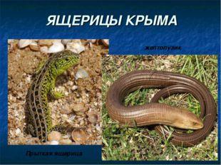 ЯЩЕРИЦЫ КРЫМА Прыткая ящерица желтопузик